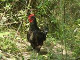 艾草鸡--公鸡